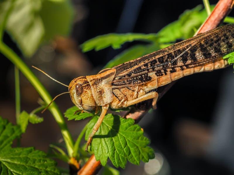 Den beigea svarta gräshoppan, på ett grönt blad, fotograferade tätt royaltyfria foton