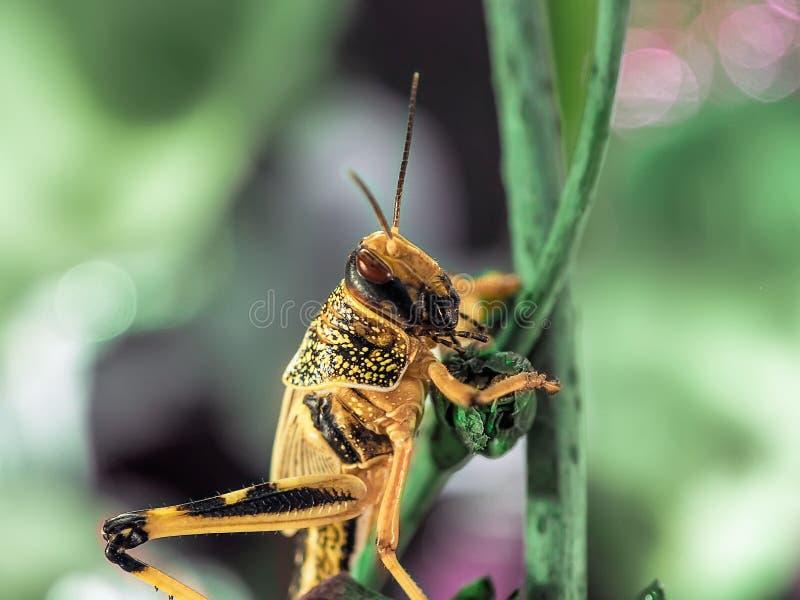 Den beigea svarta gräshoppan, på ett grönt blad, fotograferade tätt royaltyfria bilder