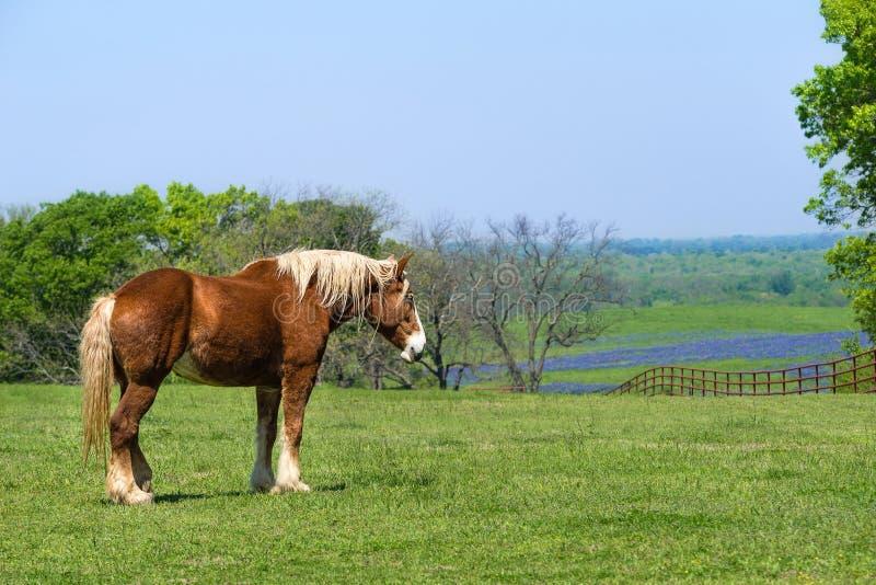 Den belgiska utkasthästen på den gröna Texas våren betar arkivbild