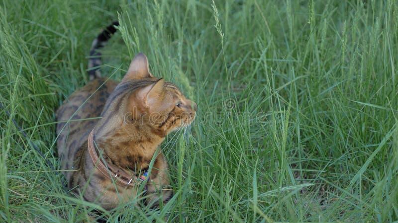 Den Bengal katten går i gräset Han visar olika sinnesrörelser arkivfoton