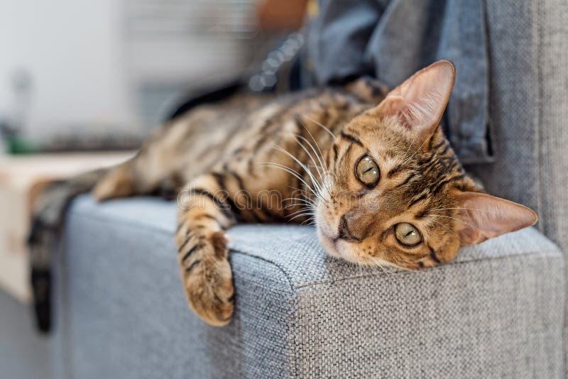 Den Bengal katten ligger på soffan arkivfoton