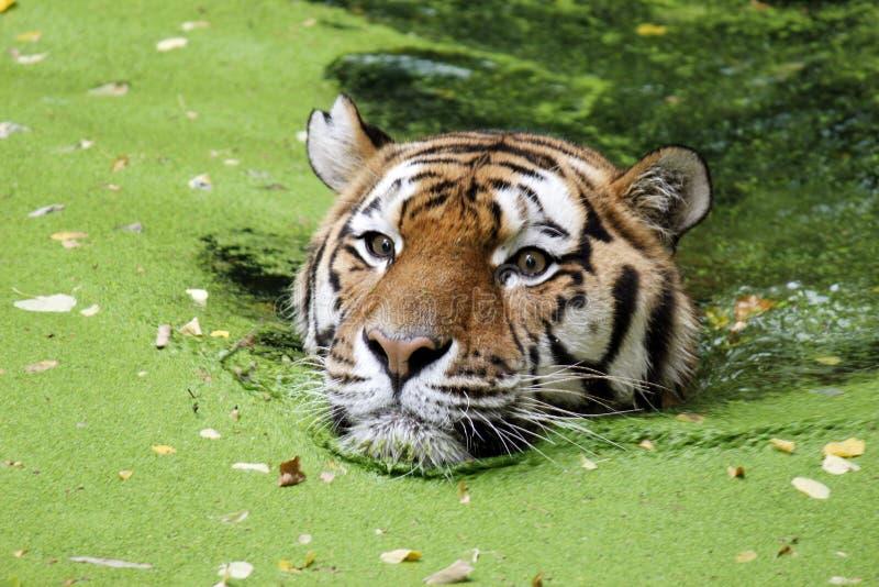 Den Bengal tigern bevattnar in arkivbilder