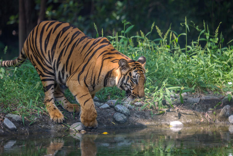 Den Bengal tigern kommer till ett vattenträsk att dricka på den Sunderban nationalparken royaltyfri fotografi