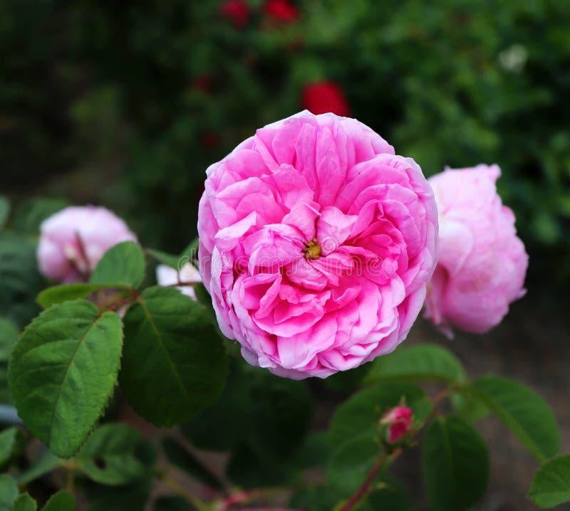 Den berömda rosa Rosa Centifolia, rosa Provence eller kålros är en blandros framkallat av den rosa breedersinen för holländare royaltyfria foton