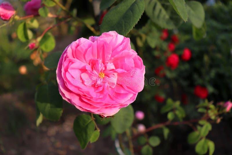 Den berömda rosa Rosa Centifolia, rosa Provence eller kålros är en blandros framkallat av den rosa breedersinen för holländare royaltyfria bilder