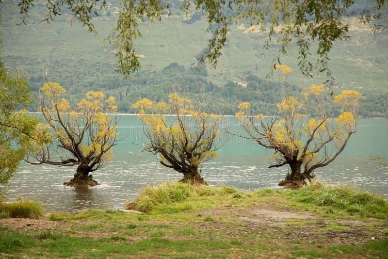 Den berömda Willow Trees av Glenorchy royaltyfria foton