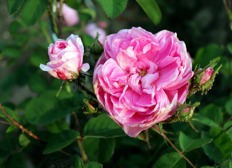 Den ber?mda rosa Rosa Centifolia, rosa Provence eller k?lros ?r en blandros framkallat av den rosa breedersinen f?r holl?ndare royaltyfria foton