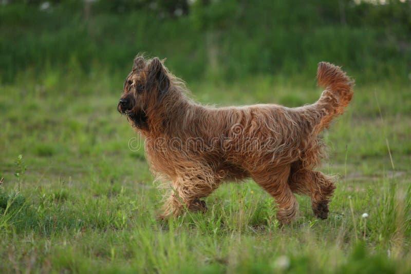 Den Berger de Brie Briard hunden på går royaltyfria foton