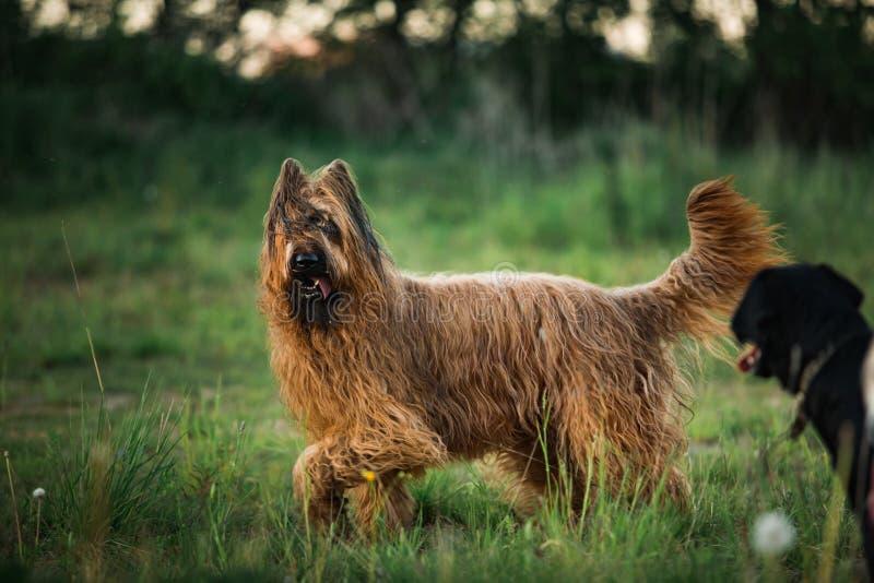 Den Berger de Brie Briard hunden på går fotografering för bildbyråer