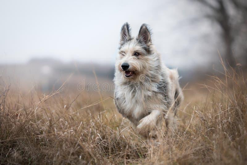 Den Berger picardhunden övervintrar in fältet arkivbild