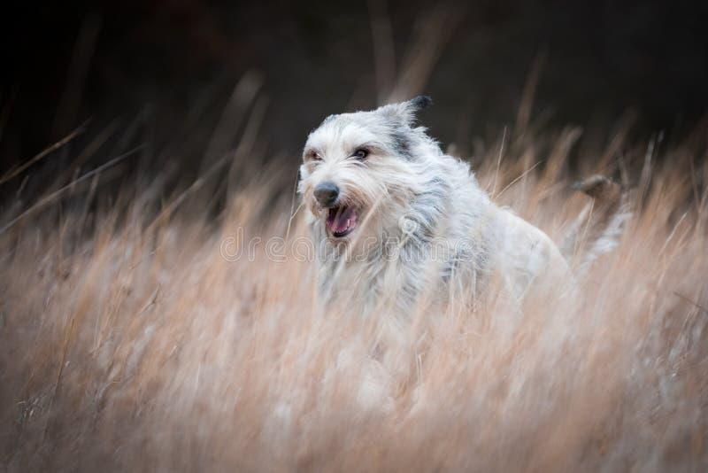 Den Berger picardhunden övervintrar in fältet royaltyfri fotografi
