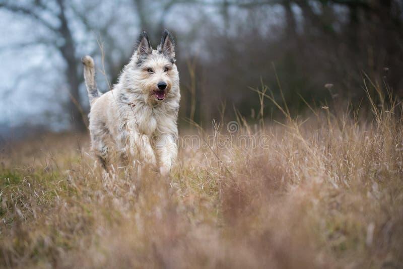 Den Berger picardhunden övervintrar in fältet arkivfoto