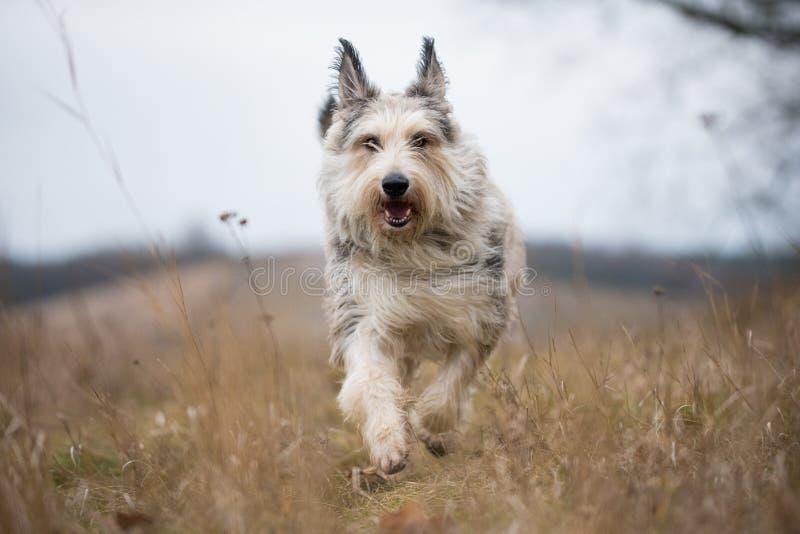Den Berger picardhunden övervintrar in fältet fotografering för bildbyråer