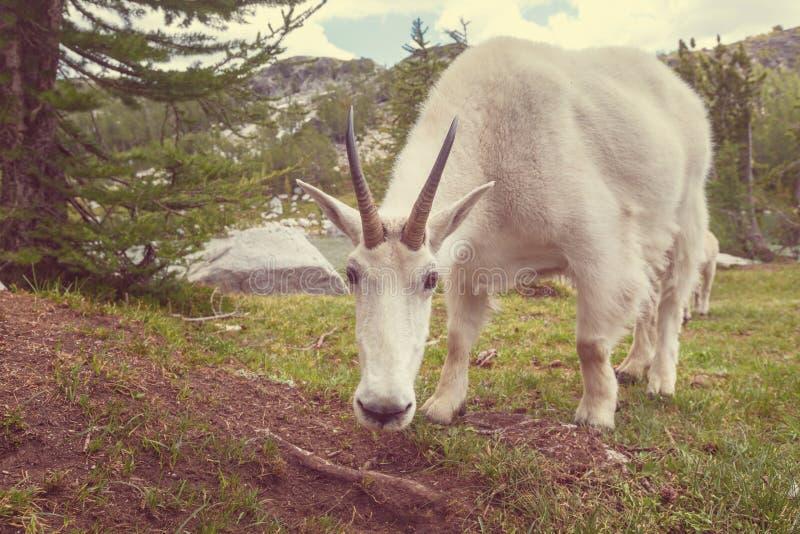 Den Billy geten, beklär beskådar fotografering för bildbyråer