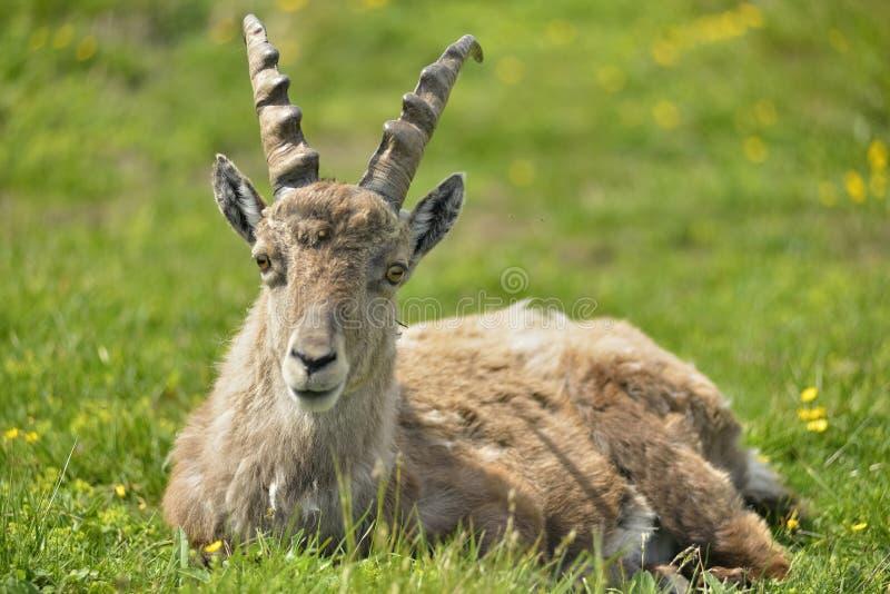 Den Billy geten, beklär beskådar ibex Niederhorn switzerland arkivfoton