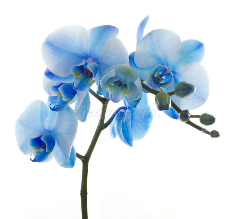 den blåa blomman blommar orchidorchidsphalaenopsis royaltyfria bilder