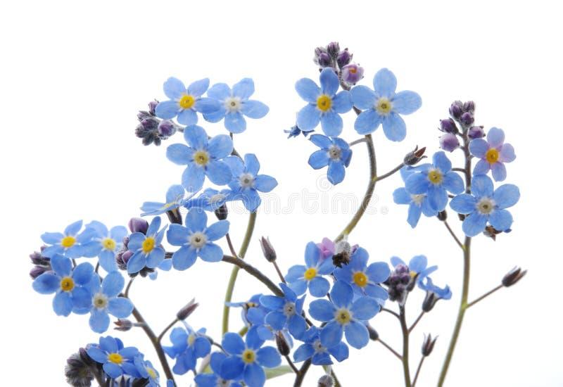 den blåa blomman glömmer mig inte royaltyfri foto