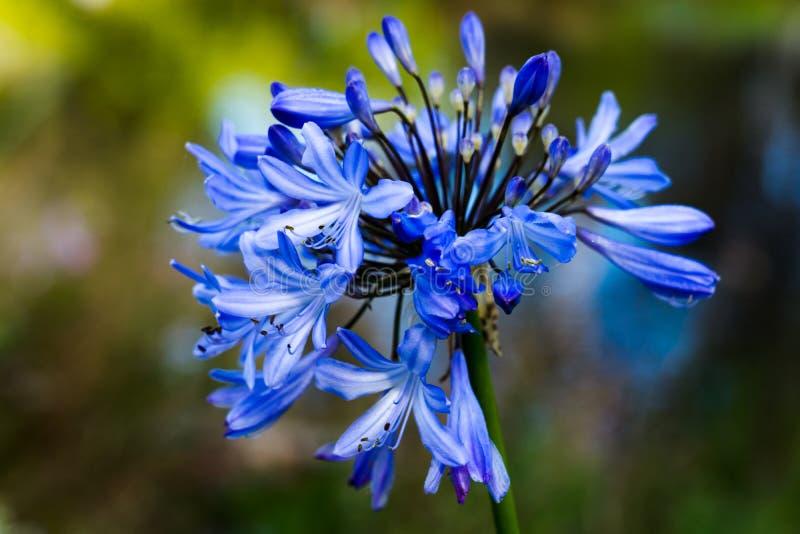 Den blåa blomman - stuva sjön i Golden Gate Park royaltyfri fotografi