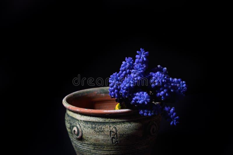 Den blåa druvahyacinten, Muscariarmeniacum blommar i en grön lera fotografering för bildbyråer