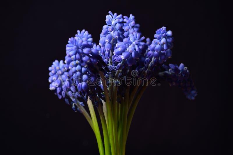 Den blåa druvahyacinten, Muscariarmeniacum blommar med stark cont royaltyfri fotografi