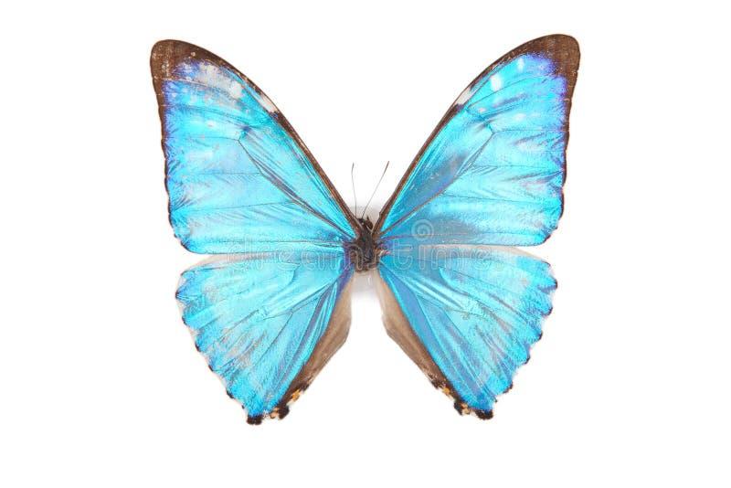 den blåa fjärilen isolerade morphozephyrius fotografering för bildbyråer