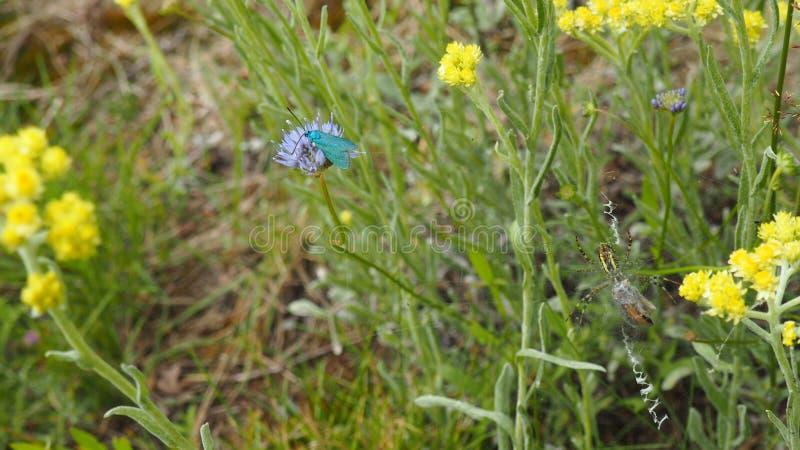 Den blåa fjärilen och getingspindeln arkivbilder