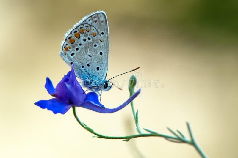 Den blåa fjärilen Polyommatus icarus på en glänta på en sommardag på en fältblomma fotografering för bildbyråer