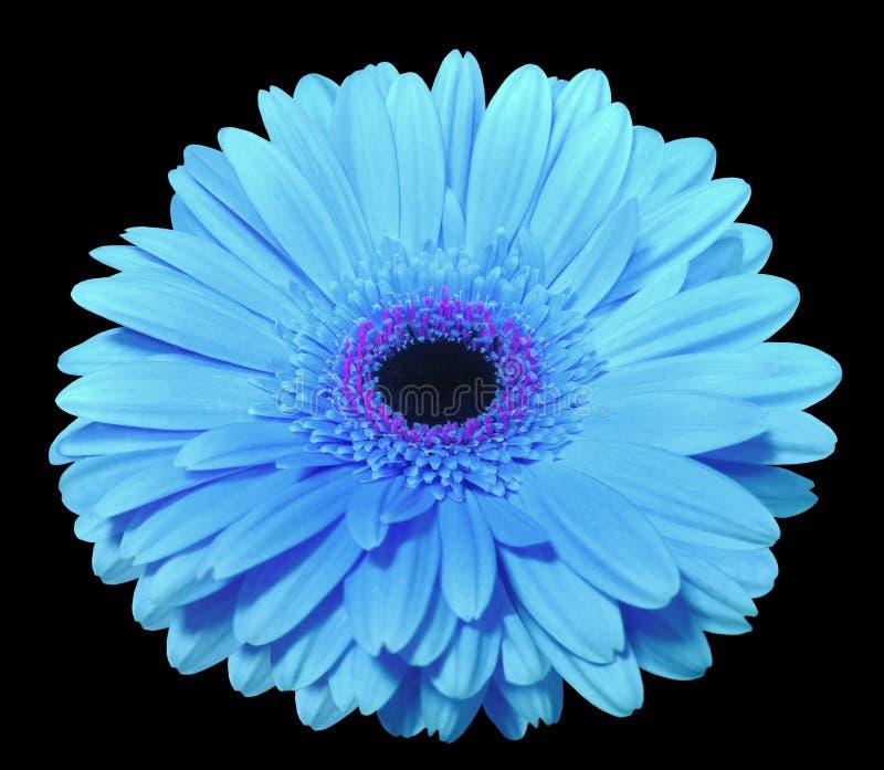 Den blåa gerberablomman, svärtar isolerad bakgrund med den snabba banan closeup , royaltyfri foto