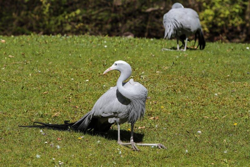 Den blåa kranen, Grusparadisea, är en utsatt för fara fågel fotografering för bildbyråer