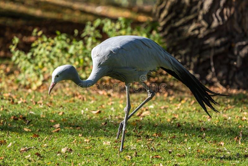 Den blåa kranen, Grusparadisea, är en utsatt för fara fågel arkivfoton