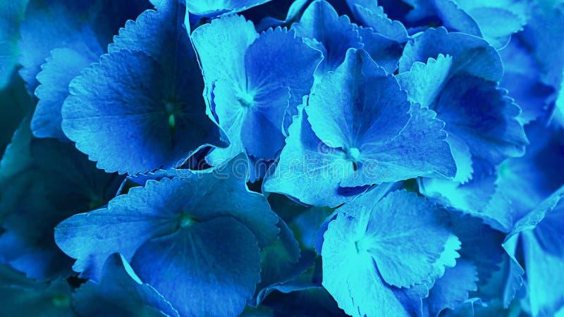 Den blåa macrophyllaen för vanlig hortensiablommavanlig hortensia eller hortensiablomman som blommar i, parkerar och arbeta i trä royaltyfri fotografi