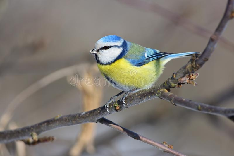 Den blåa mesen för eurasianen sitter en filial av ett äppleträd med solrosen kärnar ur i dess näbb arkivfoton