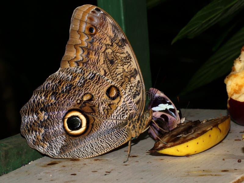 Den blåa Morpho fjärilen undfägnar frukt (Caligo sp ), royaltyfria bilder