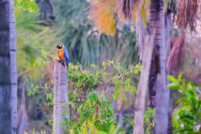 Den blåa och gula arapapegojan, Ara Ararauna, gömma i handflatan lagun Lagoa das Araras, Bom Jardim, Nobres, Mato Grosso, Brasili royaltyfria bilder