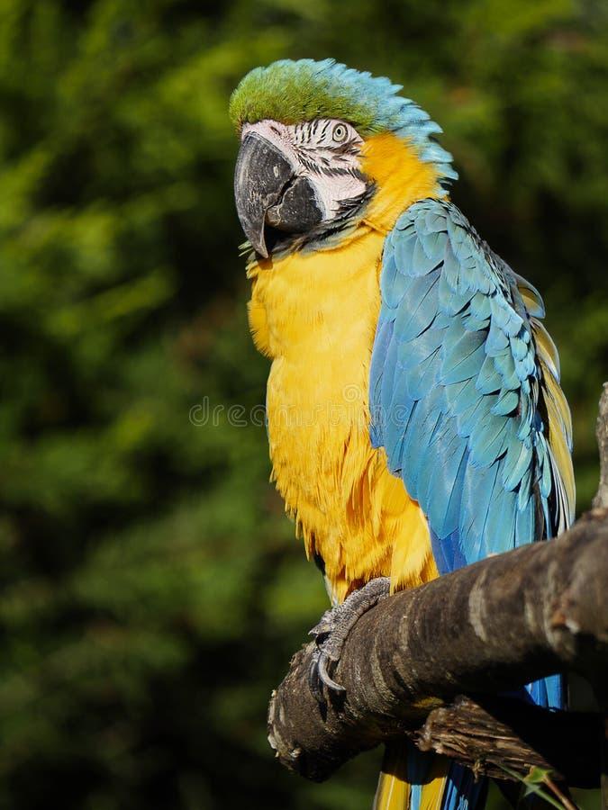 Den blåa och gula papegojan poserar för ett foto royaltyfri foto