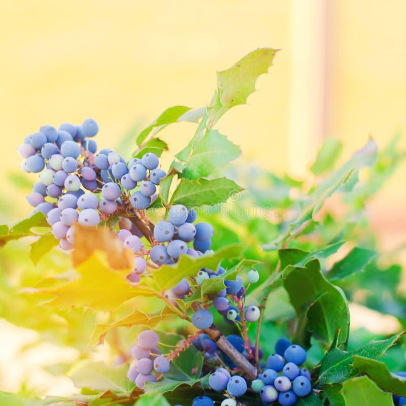 Den bl?a Oregon-druvan f?r b?rMahoniaaquifoliumen eller Oregon druvan och busken ?r art av blomningv?xten i familjen royaltyfri fotografi