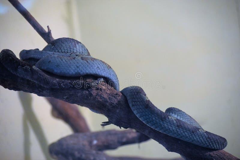 Den blåa ormen arkivbilder