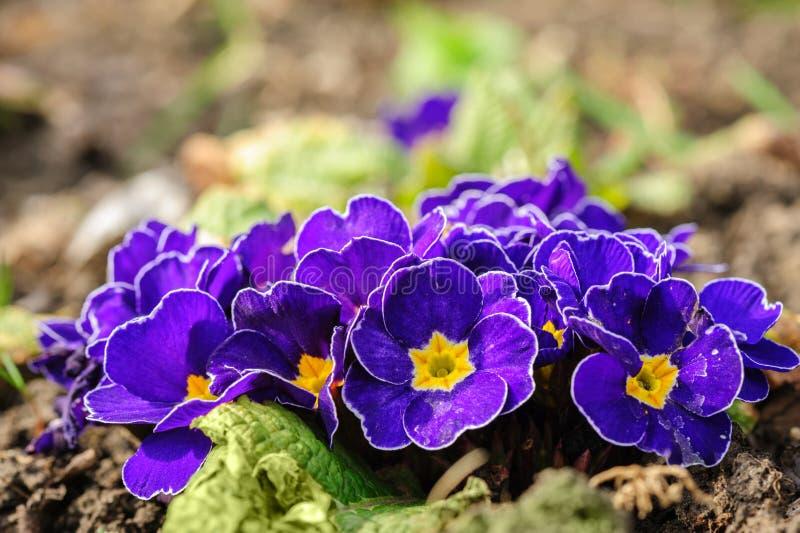 Den blåa primulan blommar makrocloseupen fotografering för bildbyråer