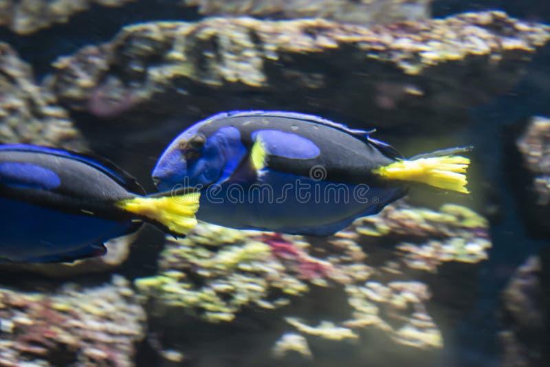 Den blåa skarp smakfisken arkivfoto