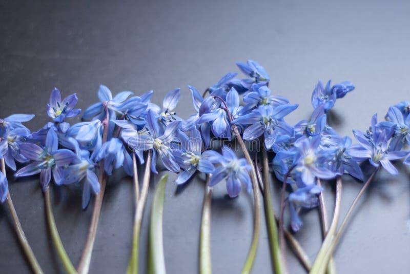 Den blåa snödroppen blommar på mörkerjordningen royaltyfria foton