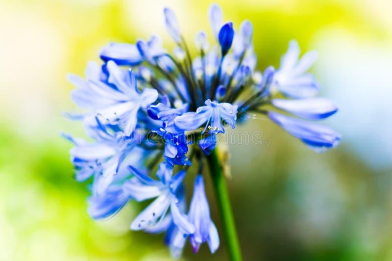 Den bl?a blomman - stuva sj?n i Golden Gate Park arkivfoton