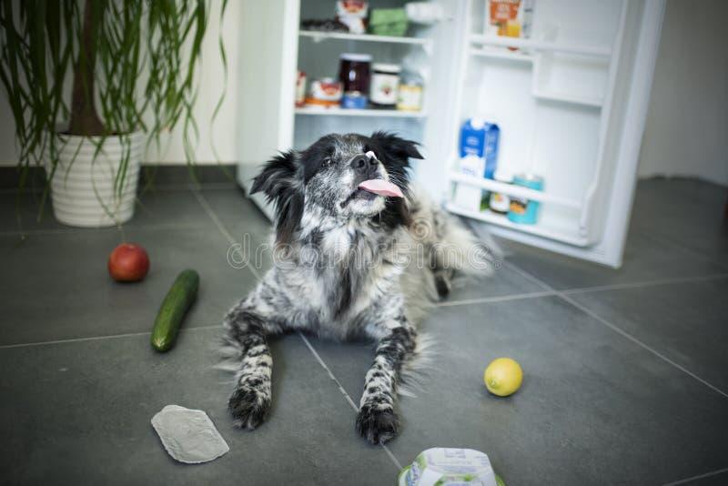 Den blandade avelhunden stjäler mat från kylen arkivbilder