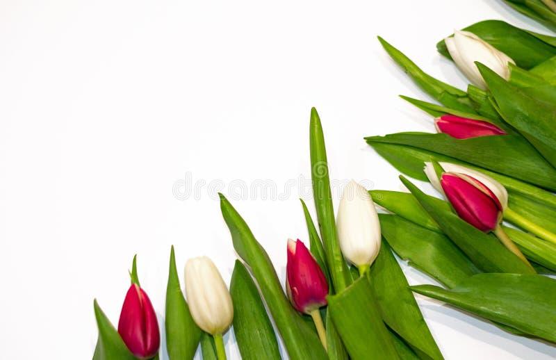 Den blom- ramen på vit bakgrund som göras av röda och vita tulpanblommor, knäppas Kopieringsutrymme för att hälsa på Valentine&#x arkivbild