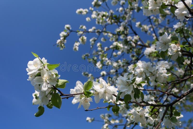 Den blomma äppletreen förgrena sig fjädrar in över blåttskyen royaltyfri foto
