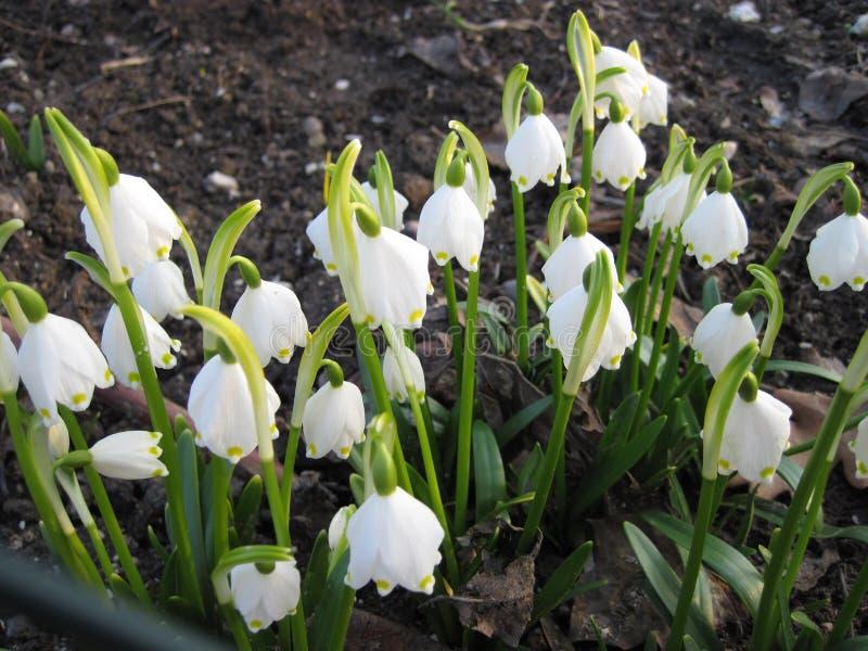 Den blomma liljekonvaljen fjädrar in trädgården royaltyfri fotografi
