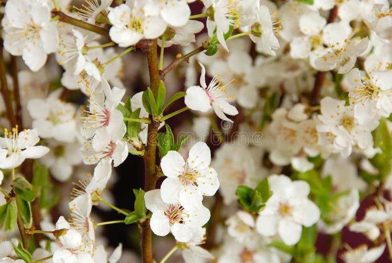 Den blomma plommonet blommar bakgrund fotografering för bildbyråer
