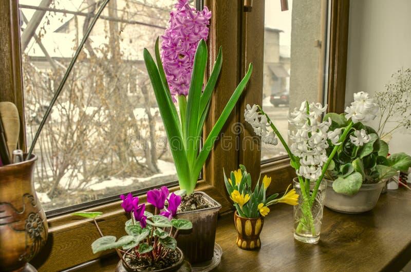Den blommahyacinter och cyklamen blomstrar på fönsterbrädan fotografering för bildbyråer