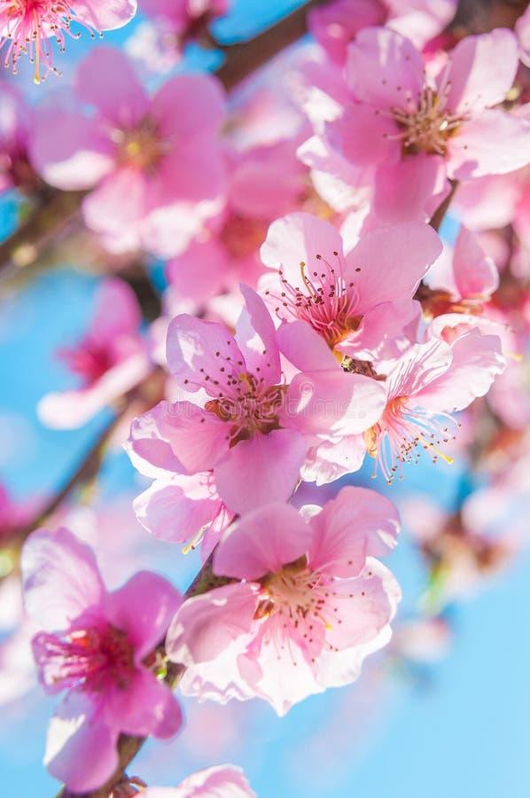 Den blommande persikarosa färgen blommar makro royaltyfri fotografi