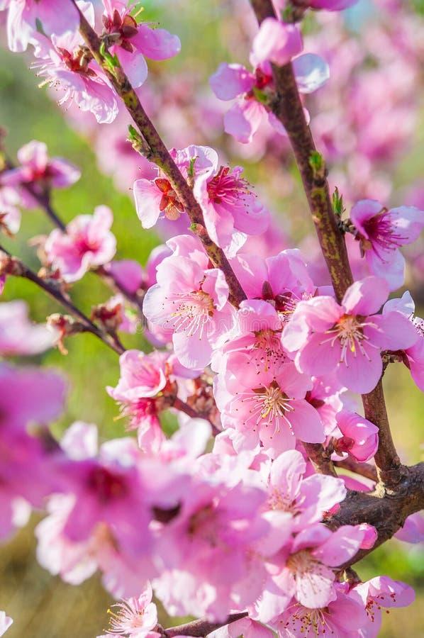 Den blommande persikarosa färgen blommar makro royaltyfria bilder