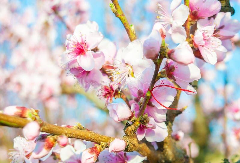 Den blommande persikarosa färgen blommar makro royaltyfri bild